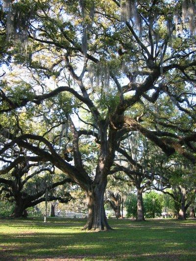 Live Oaks of City Park